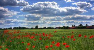 field-of-poppies-brandenburg-nature-royalty-free-86431