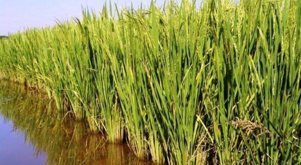 arroz-irrigado-768x556-e1467617456597-600x380